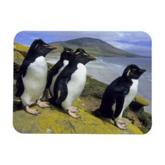 Rockhopper Penguins, (Eudyptes chrysocome), Rectangular Photo Magnet
