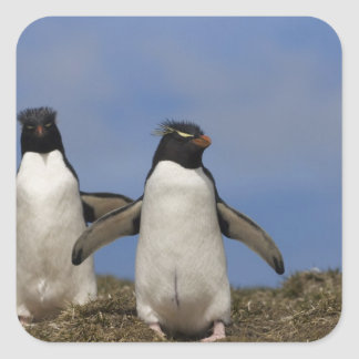 Rockhopper Penguins Eudyptes chrysocome Square Sticker