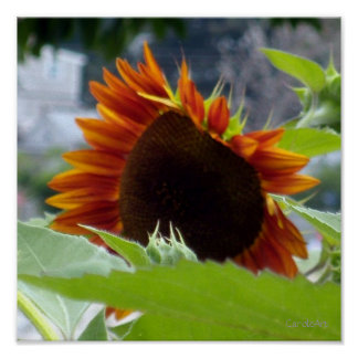 Rockport Red Sunflower Posters