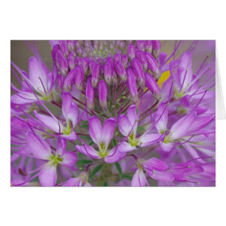 Rocky Mountain Bee Plant Card