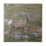 Rocky Mountain Big Horn Sheep Ewe Ceramic Tile