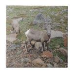 Rocky Mountain Big Horn Sheep Ewe Ceramic Tiles