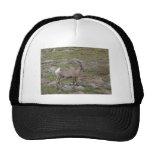 Rocky Mountain Big Horn Sheep Ewe Hats
