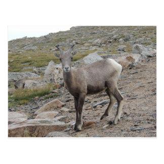 Rocky Mountain Big Horn Sheep Ewe Postcard