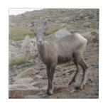 Rocky Mountain Big Horn Sheep Ewe Tiles