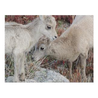 Rocky Mountain Big Horn Sheep Lamb Postcard