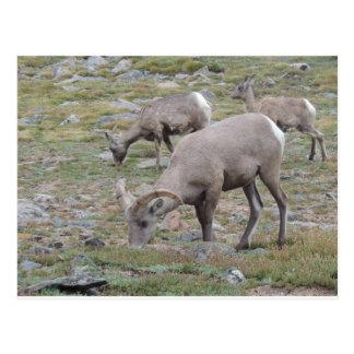 Rocky Mountain Big Horn Sheep Postcard