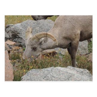 Rocky Mountain Big Horn Sheep Ram Postcard