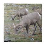 Rocky Mountain Big Horn Sheep Tile
