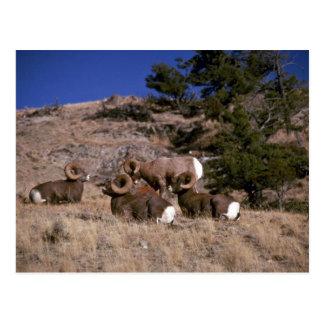 Rocky mountain bighorn sheep (band of bachelor ram postcard