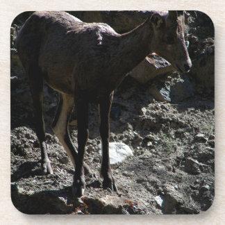 Rocky Mountain Bighorn Sheep, ewe Drink Coaster