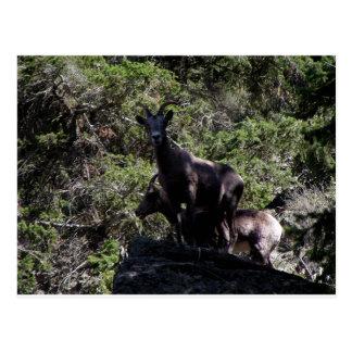 Rocky Mountain Bighorn Sheep, Keremeos, BC Postcard