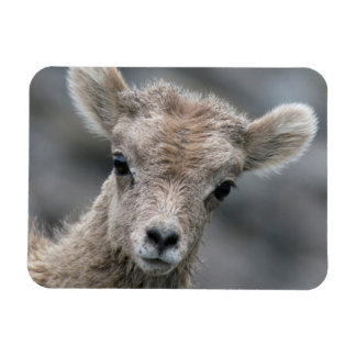 Rocky Mountain Bighorn Sheep Lamb Magnet