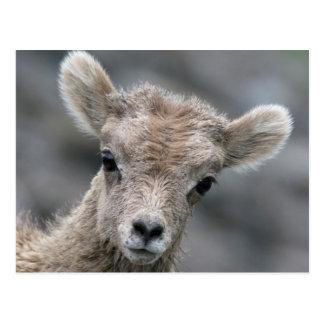 Rocky Mountain Bighorn Sheep Lamb Postcard