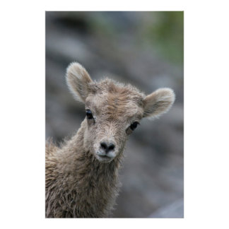 Rocky Mountain Bighorn Sheep Lamb Poster