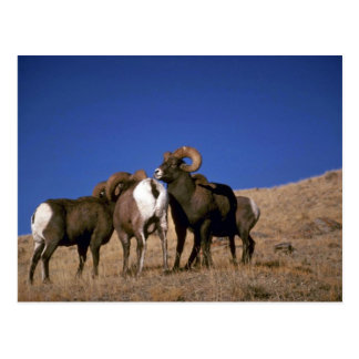 Rocky mountain bighorn sheep (Large bachelor rams) Postcard