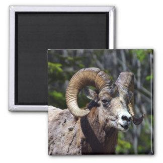 Rocky Mountain Bighorn Sheep Magnet