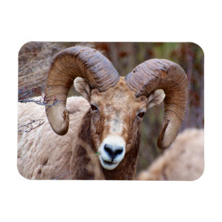 Rocky Mountain Bighorn Sheep Magnet