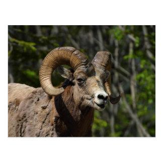 Rocky Mountain Bighorn Sheep Postcard