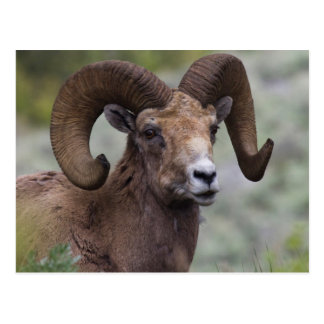 Rocky Mountain Bighorn Sheep Ram 1 Postcard