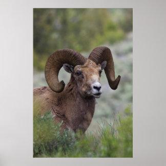 Rocky Mountain Bighorn Sheep Ram 1 Poster