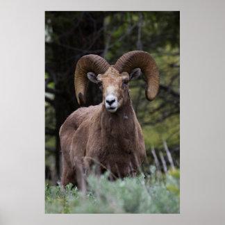 Rocky Mountain Bighorn Sheep Ram 2 Poster