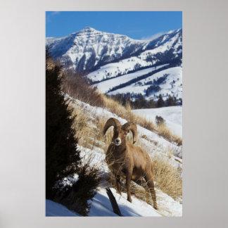 Rocky Mountain Bighorn Sheep Ram 3 Poster