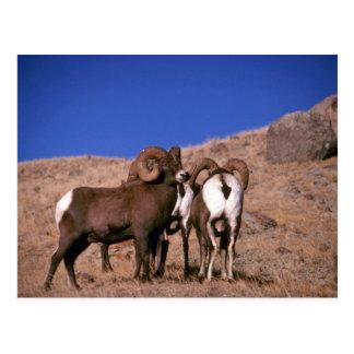 Rocky mountain bighorn sheep (Small band) Postcard