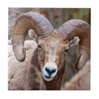 Rocky Mountain Bighorn Sheep Tile
