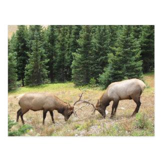 Rocky Mountain Elk Butting Heads Postcard