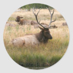 Rocky Mountain Elk in the Grass Classic Round Sticker