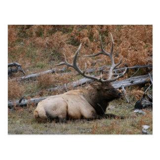 Rocky Mountain Elk Postcards