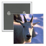 Rocky Mountain Goat Head 2 Inch Square Button