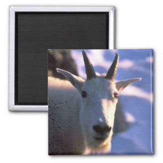 Rocky Mountain Goat Head 2 Inch Square Magnet