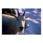 Rocky Mountain Goat Head Posters