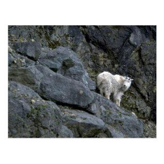 Rocky Mountain Goat In Rocks Post Cards