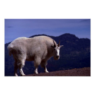 Rocky Mountain Goat-large alert billy Poster