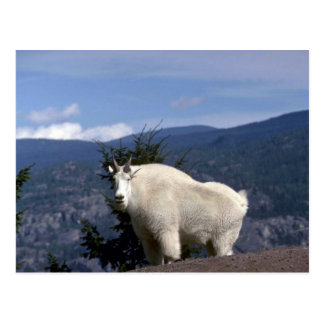 Rocky mountain goat (Large male on crest of mounta Postcard