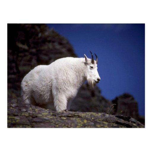 Rocky mountain goat (Large male) Postcard