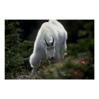 Rocky mountain goat (Large male) Poster