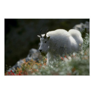 Rocky mountain goat (Large male) Posters