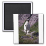 Rocky mountain goat magnet