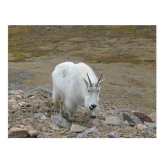 Rocky Mountain Goat Postcard