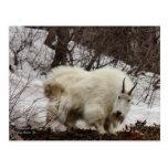 Rocky Mountain Goat Postcard #2