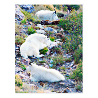 Rocky Mountain goats Postcard