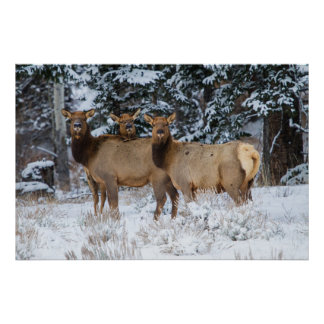 Rocky Mountains, Wyoming. Elk (Cervus Elaphus) Poster
