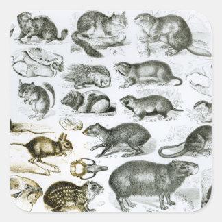 Rodentia-Roedores o animales de roedura Pegatina Cuadrada