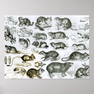 Rodentia-Roedores o animales de roedura Póster