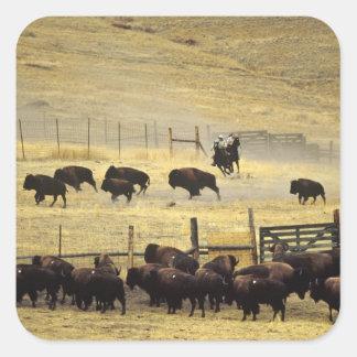 Rodeo nacional de la gama del bisonte en Montana Pegatina Cuadrada