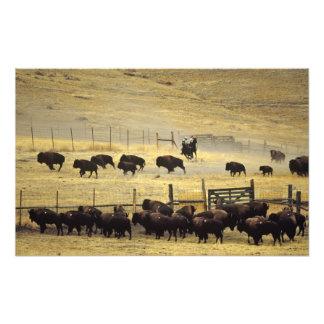 Rodeo nacional de la gama del bisonte en Montana Fotografía